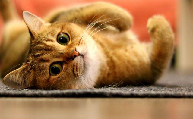 Mačke se neodvisne in samosvoje, a se jih vseeno da marsičesa naučiti. FOTO: Shutterstock