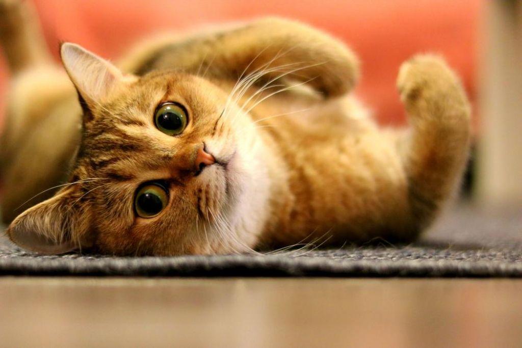 Na svetovni dan mačk se zavetišča spopadajo z zapolnjenimi kapacitetami
