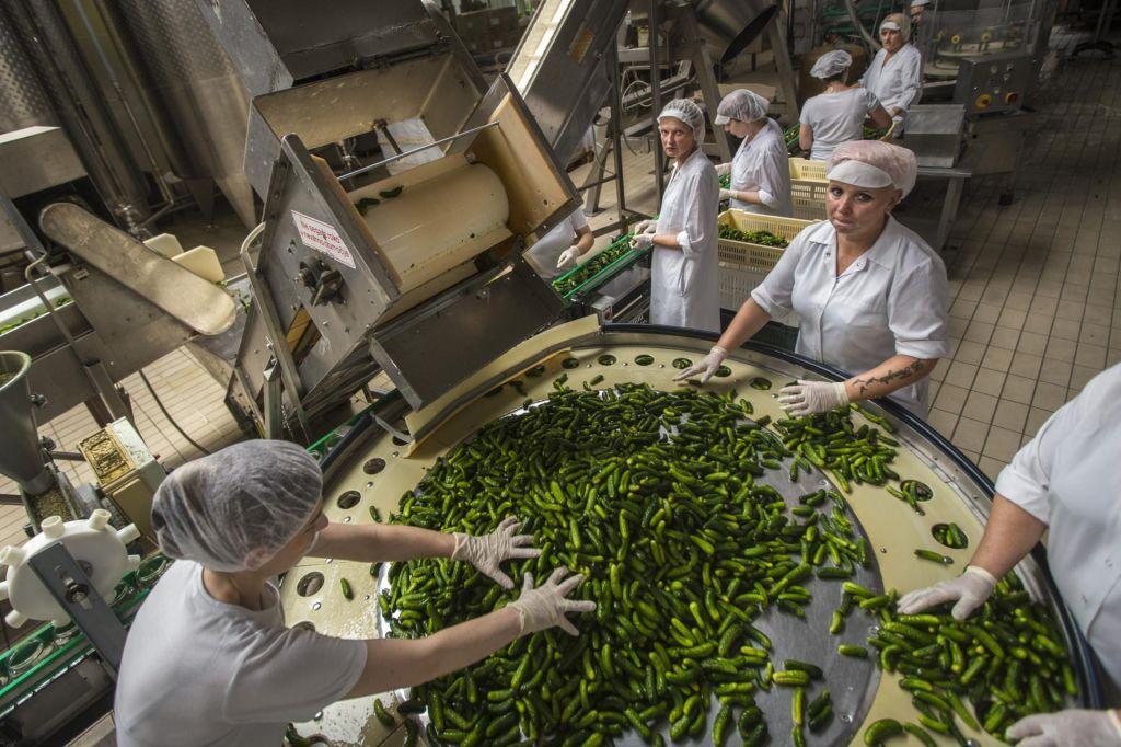 FOTO:Kisle kumarice v času kislih kumaric