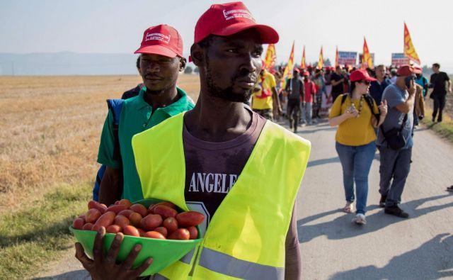 V okolici italijanskega mesta Foggia je na sezonskem delu tisoče sezonskih delavcev iz Afrike, ki obirajo paradižnik. FOTO: AFP