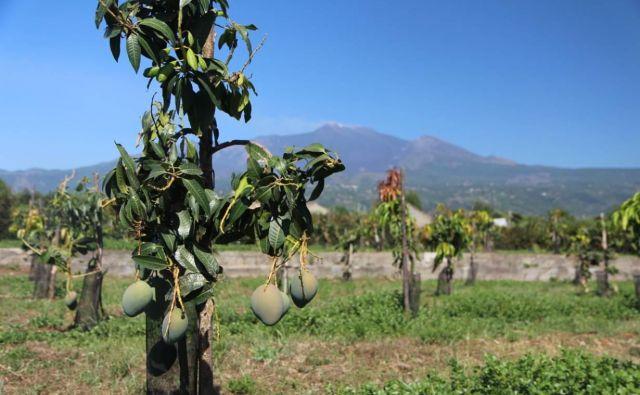 Prav nič nenavaden prizor s polj na Siciliji; mangovci z zelo priljubljenimi sadeži FOTO: Reuters