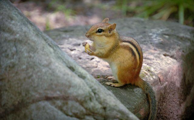 Srčkana, a potencialno invazivna veverica čipmunk. FOTO: Reuun