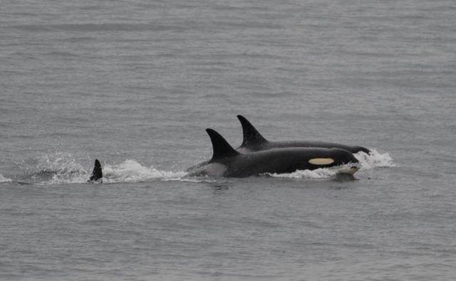 11. avgusta so orko J35, v ospredju, opazili brez poginulega mladiča. FOTO: AP