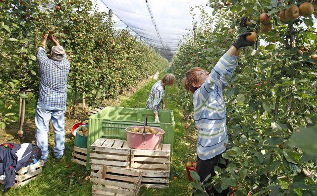 Letošnji letnik jabolk bo količinsko med boljšimi v zadnjem obdobju, kakšna bo njegova kakovost po poletju s pogosto točo in obilnim deževjem, bo znano šele pri spravilu. FOTO: Leon Vidic