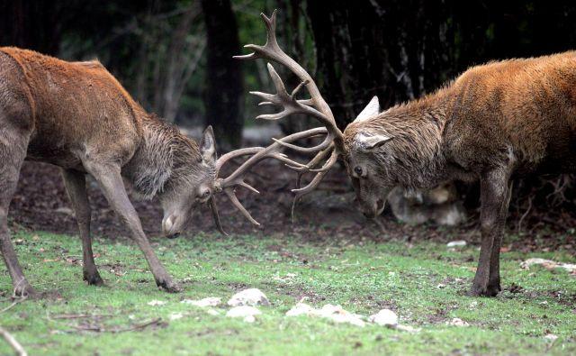 »Podobno kot zdaj na Barju redno živijo medvedi, na Golovcu srnjad oziroma divji prašiči zaradi hrane na vrtičkih poiščejo svoje bivališče,«pravijo na Lovski zvezi Slovenije. FOTO: Mavric Pivk