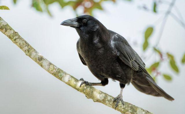 Vrane bi naredile vse za nagrado. V Franciji jih bodo uporabili za pobiranje odpadkov.