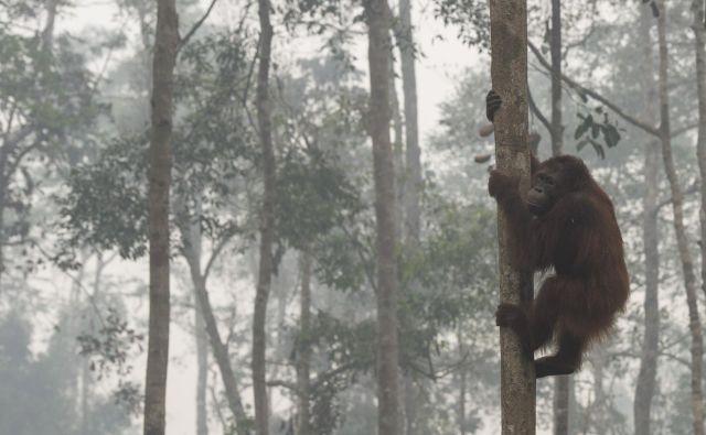 Orangutani na Borneu se morajo večkrat soočiti z požiganjem gozdov. FOTO: Reuters