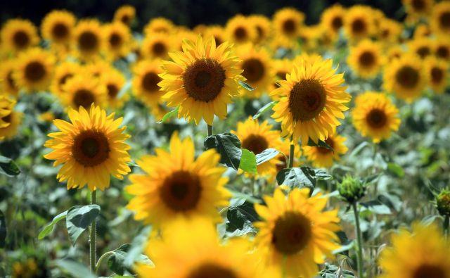 Sončnice v Provansi.