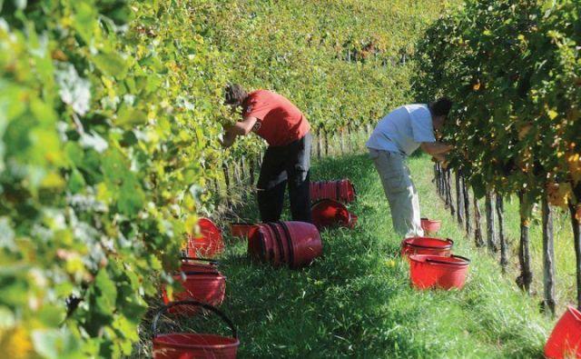 Letos rekordno zgodnja trgatev, saj grozdje hitro dozoreva. FOTO:Bakal Oste