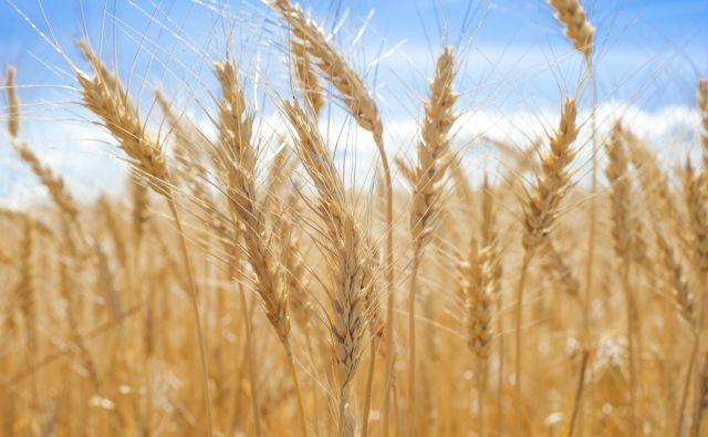 polje pšenica kmetijstvo Foto Profepix Getty Images/istockphoto