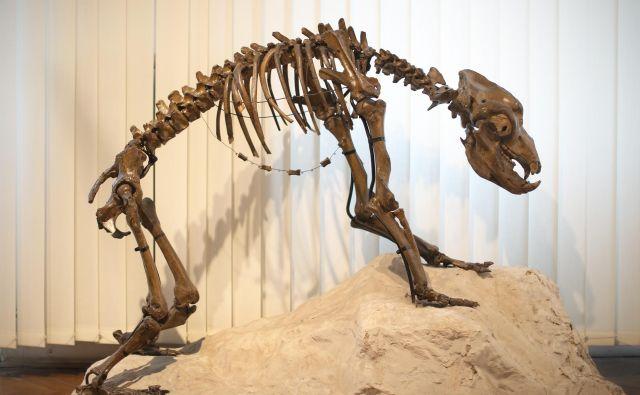 Rezultati so pokazali, da je vsaj del genoma jamskih medvedov preživel v današnjih rjavih medvedih. FOTO: Jure Eržen