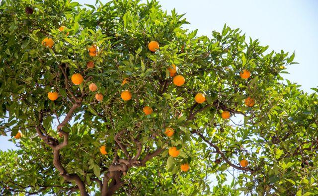 Obiranje mandarin je jesenska uspešnica. FOTO:Shutterstock