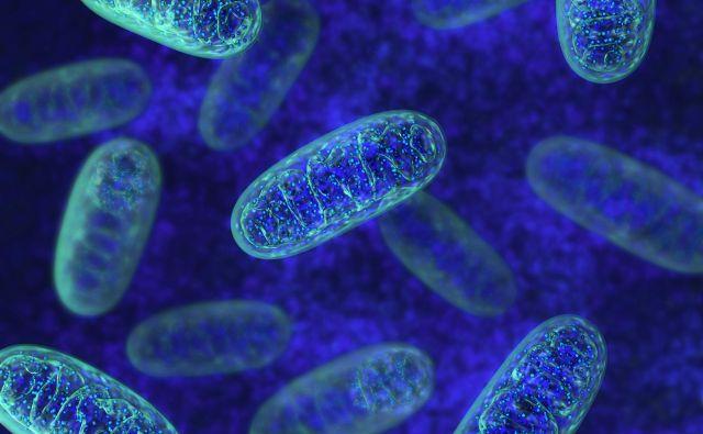 V mitohondrijih se zelo učinkovito skladišči in proizvaja energija, ki jo celice potrebujejo za delovanje. Vir Shutterstock