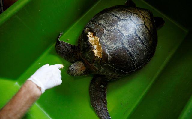 Znanstveniki čistijo rano želve, ki jo je ranil propeler čolna ali ladje. Foto Umit Bektas Reuters