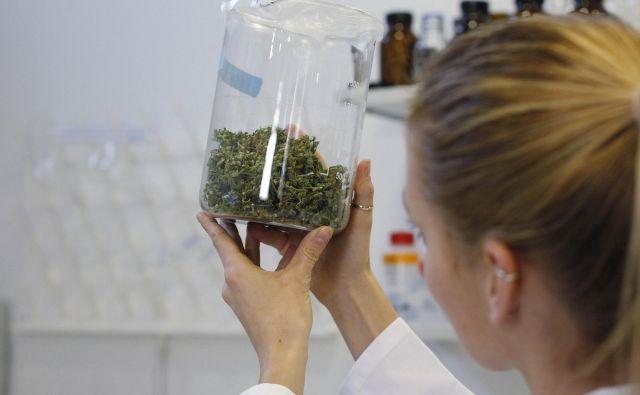 Kanabinoide bodo kupovali drugje in jih sestavljali v zdravila za klinike. FOTO: Leon Vidic
