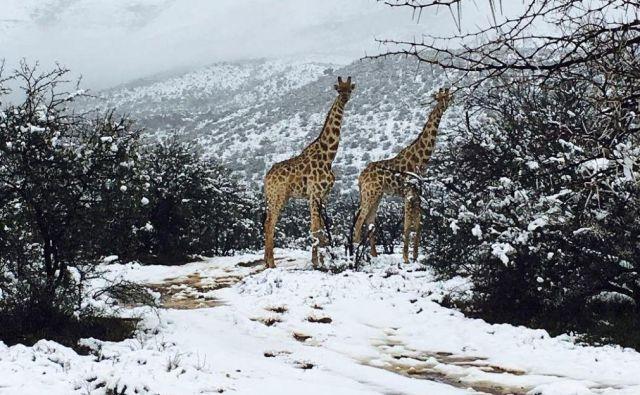 Žirafe FOTO: Kitty Viljoen/Instagram