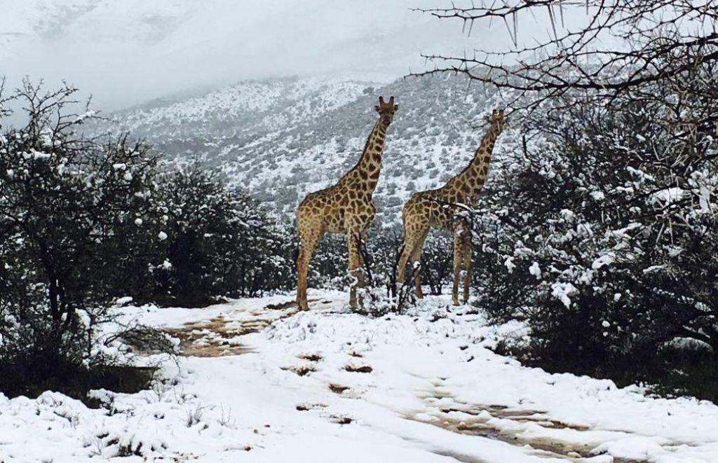Žirafe v snegu