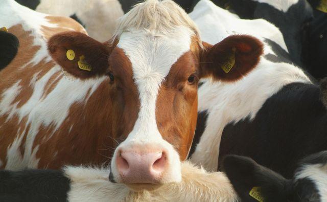 Krave imajo po navedbah komisarke – ne samo v šalah – težave, ker ne morejo razumeti, zakaj morajo biti pomolzene uro prej ali pozneje, saj je za njih vsak dan enak. FOTO:Getty Images/Ingram Publishing