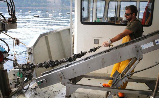 V Strunjanu, kjer je eno izmed treh gojetvenih območij, ribe školjkarjem pojedo tudi do četrtino pridelka, zato mlade školjke vlagajo v morje okoli Debelega rtiča, kjer je rib manj. Fotografije Tomi Lombar