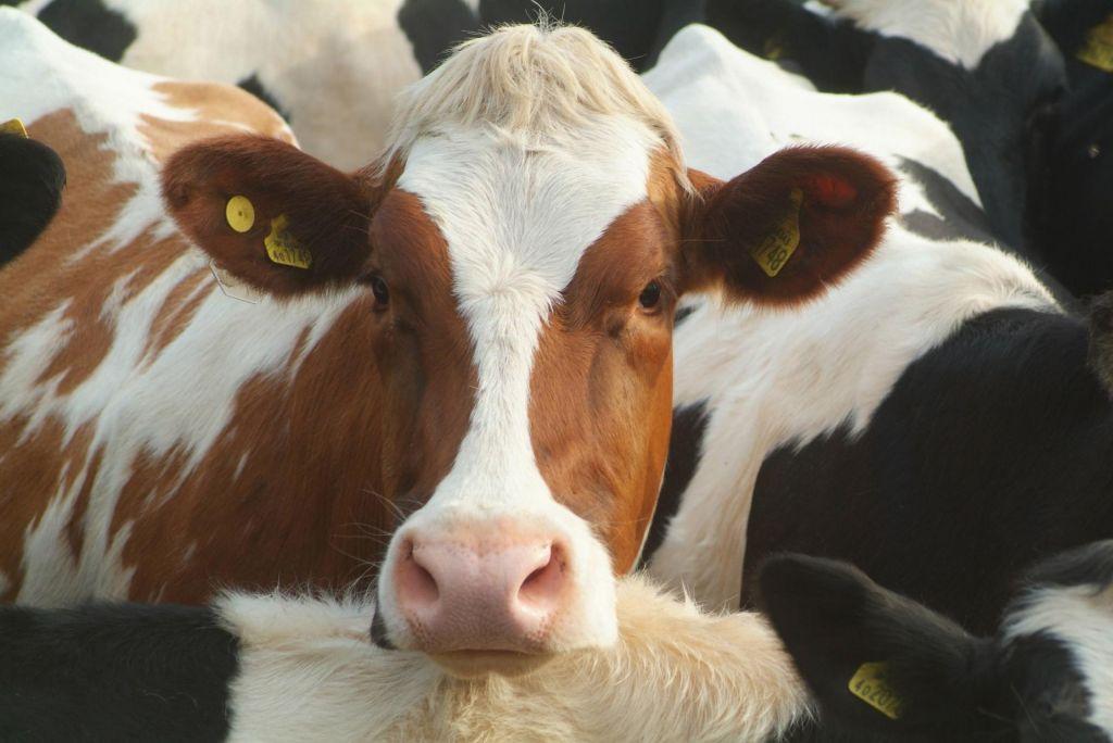 Konec premikanja kazalcev: še kravam naj bi odleglo