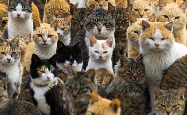 Mačke so za človeka nevarne le v času prve okužbe, ko se praživali izločajo z njihovimi iztrebki. FOTO: Reuters