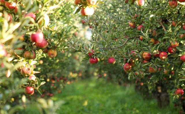 Tako bogate letino sadjarji ne pomnijo.<br /> Foto Shutterstock