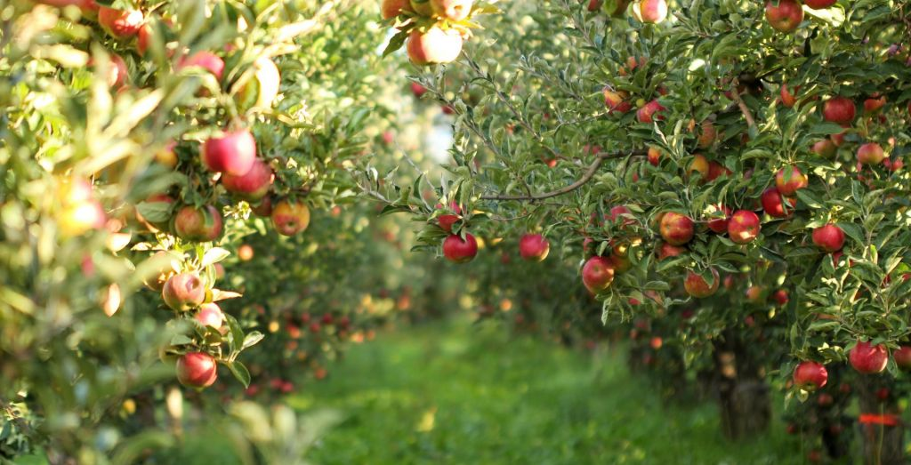 FOTO:Sosed sosedu... zaboj jabolk
