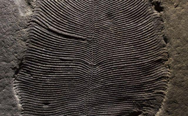 Fosil dickinsonie. Telo je dolgo okoli devet cm. FOTO: Ilya Bobrovskiy/Australian National University/AP