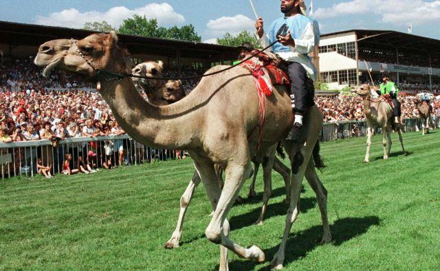 Mlado podjetje Protocamel proizvaja prehranske aditive za dirkalne kamele. Pravijo, da uporabljajo najbolj kakovostne surovine slovenskega porekla. FOTO: Reuters