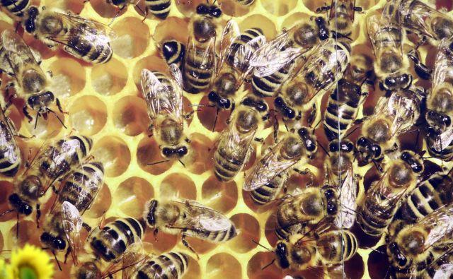 Glifosat spreminja mikrobioto čebel, zato postanejo manj odporne, kaže nova študija. FOTO: Igor Mali/Delo