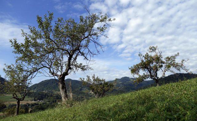 Gospodarji, ki so jih zasadili in prihajali po pridelek, so odšli dolgo tega, mladi ne utegnejo več lesti na visoka drevesa. FOTO Uroš Hočevar<br />
