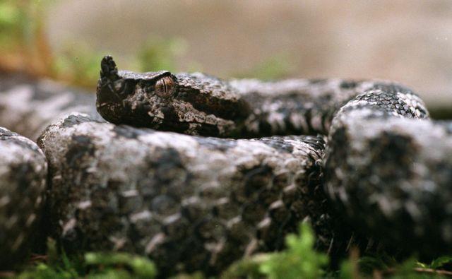 Modras v laični javnosti velja poleg gada za najstrupenejšo evropsko kačo, smrtna doza njegovega strupa je 0,48 miligrama na kilogram. Foto Mavric Pivk