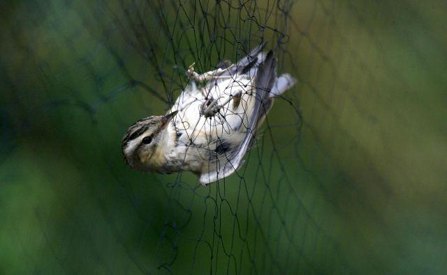 Bodite pozorni na lovce z mrežami in italijanskimi registrskimi tablicami vozil, saj v Sloveniji noben italijanski raziskovalec nima dovoljenja za lov ptic. Foto: Mavric Pivk