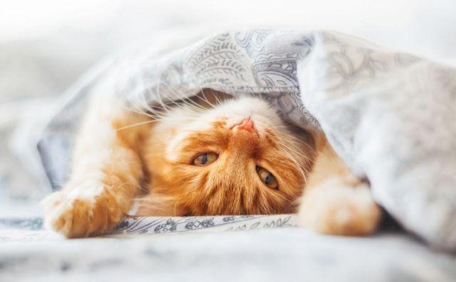 Mačke imajo rade udobje in človeške postelje so odlična izbira za spanje. FOTO: Shutterstock