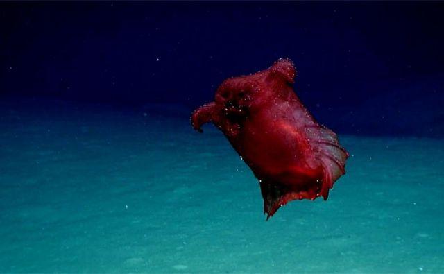 Morska kumara enypniastes eximia ali brezglava piščančja pošast. FOTO: NOAA