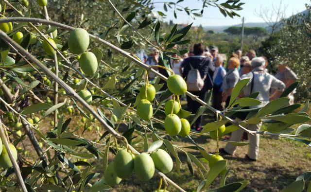 Tokrat je oljčnik v Strunjanu obiskala skupina avstrijskih turistov.<br /> FOTO: Boris Šuligoj