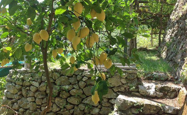 Limone v Amalfiju že stoletja igrajo pomembno vlogo. FOTO: Damijan Jagodic