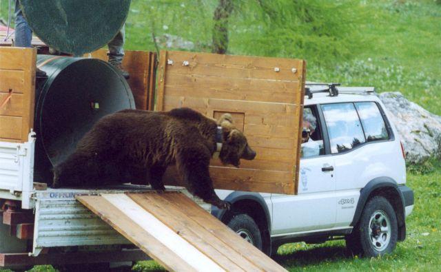 Preseljeni medved iz kočevskih gozdov Jože vstopa v novo življenje v italijanskih Dolomitih, v območje Avtonomne pokrajine Trento, Italija, maj 2000. Foto Marko Jonozovič
