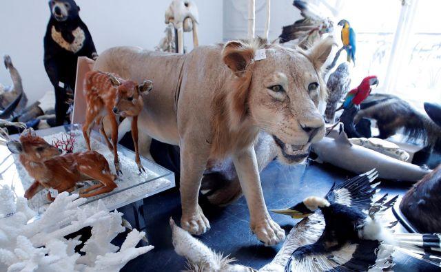 V Parizu bo potekala avkcija nagačenih živali v avkcijski hiši Artcurial.Foto Charles Platiau Reuters