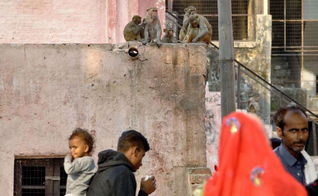 Opice se ljudi ne bojioj več. FOTO: Pawan Sharma/Afp