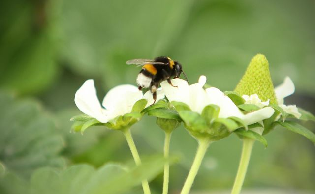 Čmrlj na jagodnem cvetu. FOTO: Jure Eržen