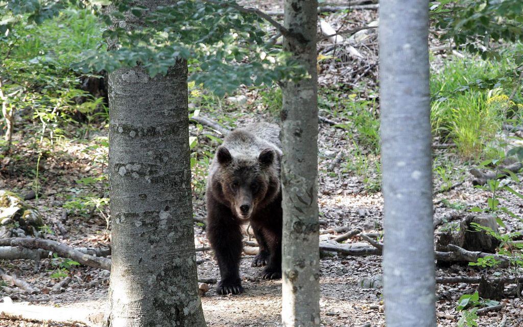 Populacija medvedov se ne bo drastično zmanjšala