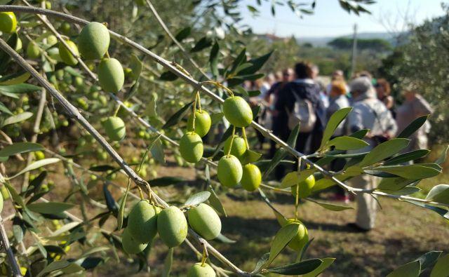 Takšna je najbolj razširjena sorta v slovenski Istri. Foto Boris Šuligoj