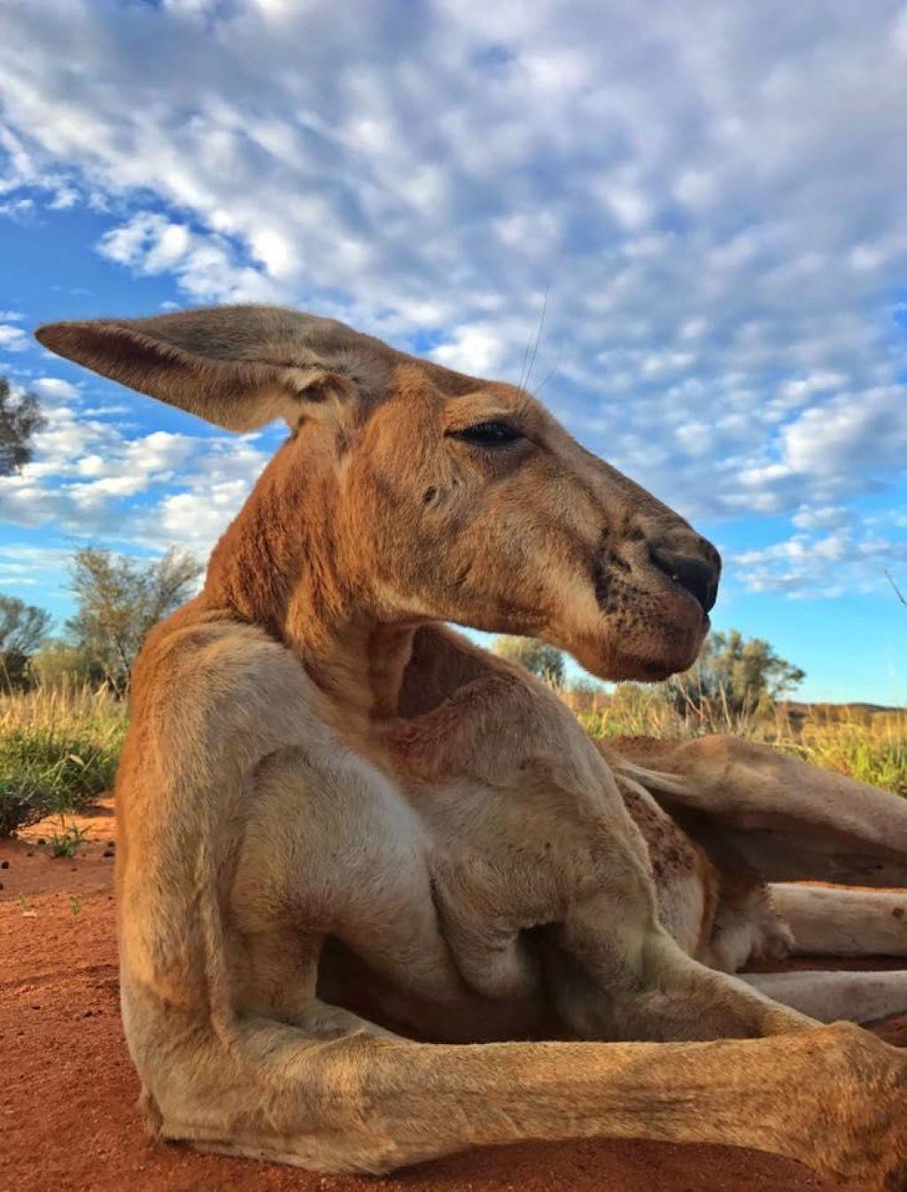 Avstralci žalujejo za Rogerjem, silakom med kenguruji