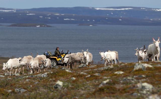 Severni jeleni se soočajo s številnimi izzivi, ki jih prinašajo podnebne spremembe. Izzivom niso kos. FOTO: Stojan Nenov/Reuters