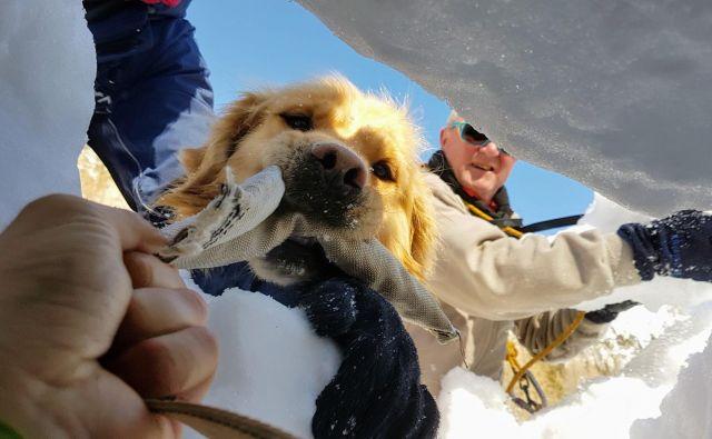 Lavinski psi so reševalcem v veliko pomoč. FOTO: Matjaž Šerkezi