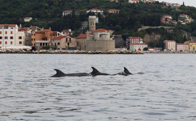 Plavuti pred piransko Punto. Foto Ana Hace