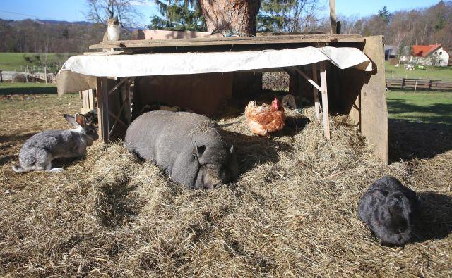 Prašiči, kokoši, mačke, kunci, pa še purani in race, ki jih na fotografiji ni, v sožitju na kmečkem dvorišču. FOTO: Tadej Regent