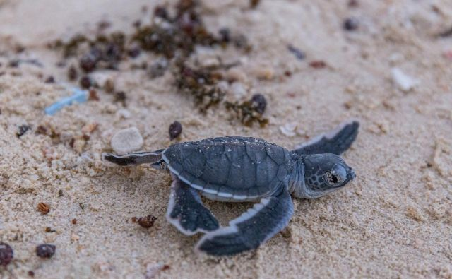 Mladiček orjaške črepahe. FOTO: Shutterstock