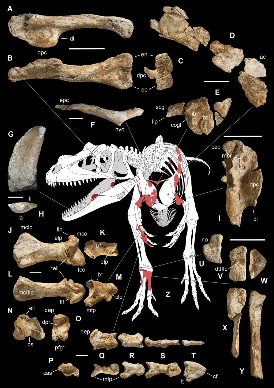 Prvi veliki mesojedi dinozaver je bil Italijan